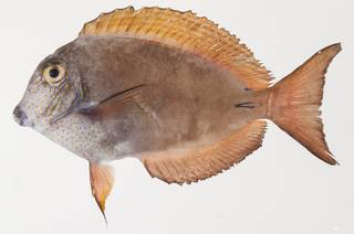To NMNH Extant Collection (Acanthurus nigrofuscus USNM 439387 photograph lateral view)
