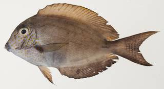 To NMNH Extant Collection (Acanthurus nigrofuscus USNM 439449 photograph lateral view)