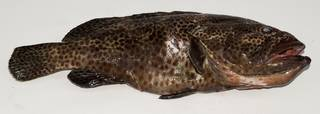 To NMNH Extant Collection (Epinephelus tauvina USNM 439488 photograph lateral view)