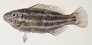 To NMNH Extant Collection (Chlorurus sordidus USNM 439625 photograph lateral view)