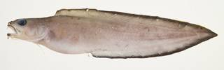 To NMNH Extant Collection (Brotula multibarbata USNM 439741 photograph lateral view)