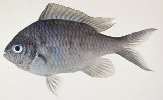 To NMNH Extant Collection (Chromis viridis USNM 439782 photograph lateral view)