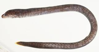 To NMNH Extant Collection (Uropterygius alboguttatus USNM 439905 photograph lateral view)