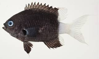 To NMNH Extant Collection (Chromis margaritifer USNM 439958 photograph lateral view)