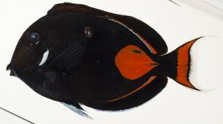 To NMNH Extant Collection (Acanthurus achilles USNM 440025 photograph lateral view)