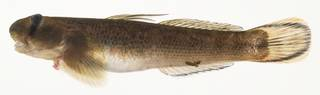 To NMNH Extant Collection (Sicyopterus lagocephalus USNM 440041 photograph lateral view)