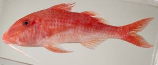 To NMNH Extant Collection (Parupeneus heptacanthus USNM 440073 photograph lateral view)