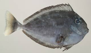 To NMNH Extant Collection (Naso annulatus USNM 440150 photograph lateral view)
