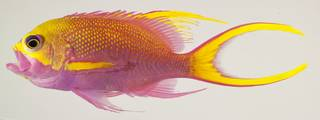 To NMNH Extant Collection (Odontanthias tapui USNM 440193 photograph lateral view)