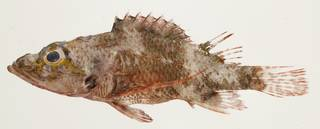 To NMNH Extant Collection (Scorpaenodes minor USNM 440198 photograph lateral view)