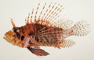 To NMNH Extant Collection (Pterois antennata USNM 392530 photograph lateral view)