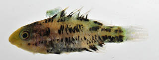 To NMNH Extant Collection (Scarus altipinnis USNM 435209 photograph lateral view)