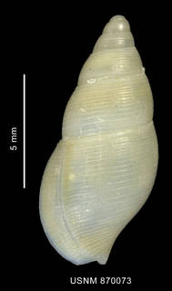 To NMNH Extant Collection (Pareuthria ringei (Strebel, 1905), shell, dorsal view)