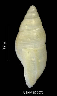 To NMNH Extant Collection (Pareuthria ringei (Strebel, 1905), shell, lateral view)