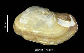 To NMNH Extant Collection (Hiatella solida (Sowerby, 1834), shell, left valve, outer view)