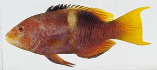 To NMNH Extant Collection (Bodianus perditio USNM 438465 photograph lateral view)