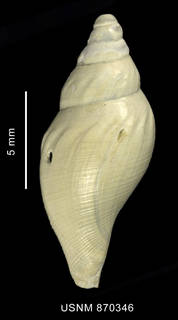 To NMNH Extant Collection (Typhlodaphne strebeli Powell, 1951, shell, dorsal view)