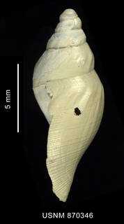 To NMNH Extant Collection (Typhlodaphne strebeli Powell, 1951, shell, lateral view)