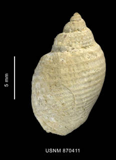 To NMNH Extant Collection (Admete philippii Carcelles, 1950, shell, dorsal view - IZ MOL 870411)