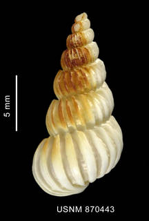 To NMNH Extant Collection (Coroniscala magellanica (Philippi, 1845), shell, dorsal view)