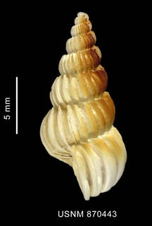 To NMNH Extant Collection (Coroniscala magellanica (Philippi, 1845), shell, lateral view)