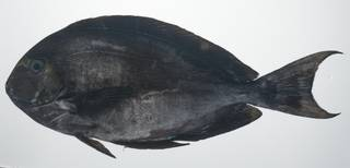 To NMNH Extant Collection (Acanthurus mata USNM 435653 photograph lateral view)