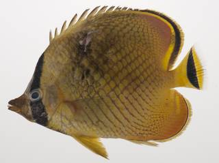 To NMNH Extant Collection (Chaetodon rafflesii USNM 435395 photograph lateral view)