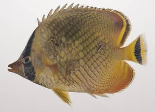 To NMNH Extant Collection (Chaetodon rafflesii USNM 435560 photograph lateral view)