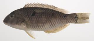 To NMNH Extant Collection (Choerodon oligacanthus USNM 435419 photograph lateral view)