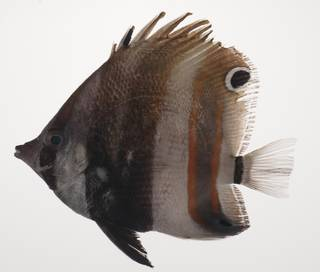 To NMNH Extant Collection (Coradion melanopus USNM 435500 photograph lateral view)