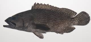 To NMNH Extant Collection (Epinephelus ongus USNM 435567 photograph lateral view)