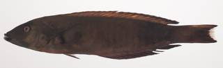 To NMNH Extant Collection (Hologymnosus annulatus USNM 435371 photograph lateral view)