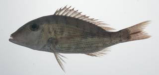 To NMNH Extant Collection (Lethrinus semicinctus USNM 435701 photograph lateral view)