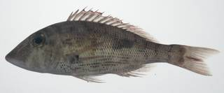 To NMNH Extant Collection (Lethrinus semicinctus USNM 435703 photograph lateral view)
