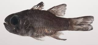To NMNH Extant Collection (Nectamia savayensis USNM 435409 photograph lateral view)