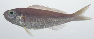 To NMNH Extant Collection (Nemipterus balinensoides USNM 435674 photograph lateral view)