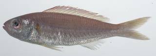 To NMNH Extant Collection (Nemipterus balinensoides USNM 435676 photograph lateral view)