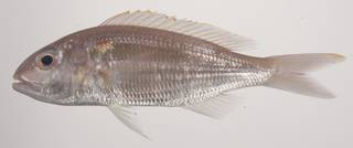 To NMNH Extant Collection (Nemipterus hexodon USNM 435601 photograph lateral view)