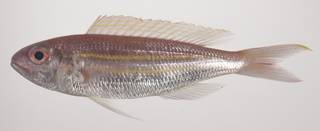 To NMNH Extant Collection (Nemipterus nematopus USNM 435602 photograph lateral view)