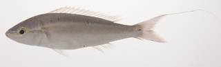 To NMNH Extant Collection (Pentapodus setosus USNM 435380 photograph lateral view)