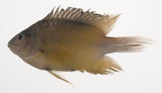 To NMNH Extant Collection (Pomacentrus grammorhynchus USNM 435444 photograph lateral view)