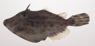 To NMNH Extant Collection (Pseudomonacanthus macrurus USNM 435396 photograph lateral view)