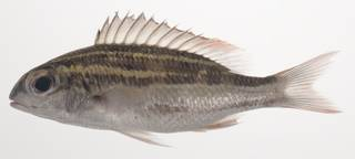 To NMNH Extant Collection (Scolopsis lineata USNM 435381 photograph lateral view)
