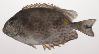 To NMNH Extant Collection (Siganus guttatus USNM 435406 photograph lateral view)