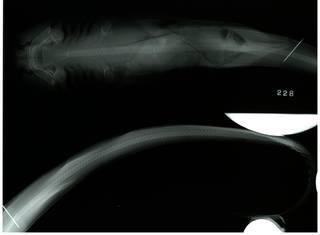 To NMNH Extant Collection (Stegostoma fasciatum RAD110734-001)