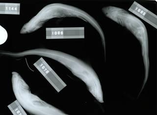 To NMNH Extant Collection (Iago omanensis RAD110741-001)