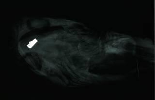 To NMNH Extant Collection (Pseudotriakis acrales RAD110809-001)