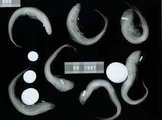 To NMNH Extant Collection (Triakis scyllium RAD110830-001)