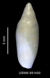 To NMNH Extant Collection (Marginella sp., shell, dorsal view)
