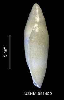 To NMNH Extant Collection (Marginella sp., shell, lateral view)